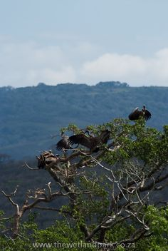African Vultures drying out their wings after the first of the rains at Hluhluwe-Imfolozi game reserve Game Reserve, Wings, African, Mountains, Nature, Travel, Naturaleza, Viajes, Destinations