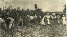 Field workers in St. Croix