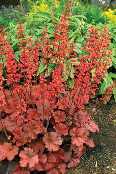 """Coral Bells 'Cherry Cola' Heuchera - Forms low mounds of reddish brown foliage with spikes of bright red flowers. Height 7-9"""". Zones 4-9"""