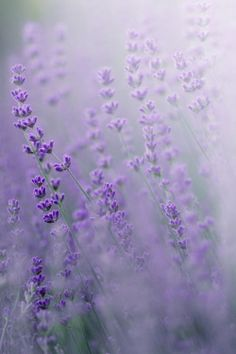 field of lavender...