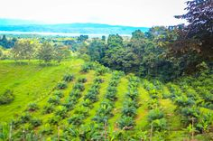 palm farm osa palmas canopy tour  Las Palmas, near Puerto Jimenez Osa Peninsula #fun #zipline #costarica
