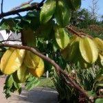 Foto: Helena Schanzer - Frutifera pra vaso - Carambola  - Star fruit in pottery