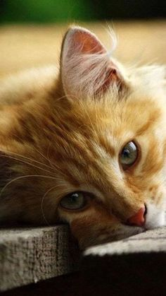 Orange Tabby Cat looks like our tigger Cute Cats And Kittens, I Love Cats, Crazy Cats, Kittens Cutest, Pretty Cats, Beautiful Cats, Animals Beautiful, Baby Animals, Cute Animals