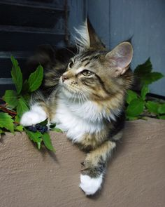 ...  Maine Coon's are beautiful cats to look at.