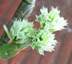 White Bottle-Brush Orchid (Dendrobium capituliflorum)