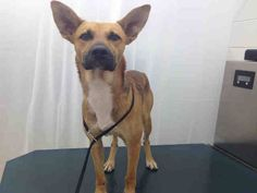 ***URGENT!!!***MYLERS ~  MOBILE, ALABAMA!  ID#A051929 Look at this handsome boy! Myles is a 1 1/2 year old, Carolina Dog/German Shepherd mix who needs someone to save him now! Myles is a sweet boy who deserves a wonderful family who will give him lots of love! He has been at the facility since Oct 11, 2013 and he needs a plan now!! Myles is a good boy who simply needs a second chance with a loving family! Mobile County Animal Shelter 7665 Howells Ferry Rd Mobile, AL 36618. MCAS is a…