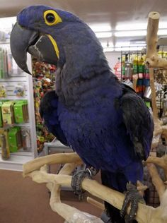One of our baby boy Hyacinth Macaws