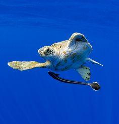 #Turtle and #Remora. (Paul Sounders) www.flowcheck.es Taller de equipos de buceo #buceo #scuba #dive