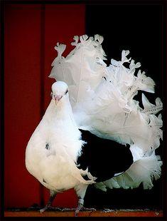 Black & white rock dove