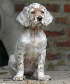thepaintedbench: English Setter Puppy - Mountain Vagabond