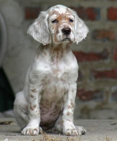 thepaintedbench: English Setter Puppy - Mountain Vagabond
