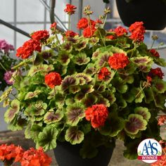 Geranium Brocade Fire 2016 Flower Winner - This 2016 AAS Winner, Geranium Brocade Fire, has unique bicolor foliage with a nonstop display of semi-double orange flowers that gives it an exceptional look in any garden.