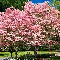 The Red Flowering Dogwood Tree is a traditional dogwood in an exceptional color that offers year-round beauty. The Red Dogwood is a perfect asset to any landscape. Order the Red Dogwood Tree today from Nature Hills and save up to Pagoda Dogwood, Dogwood Trees, Flowering Trees, Red Dogwood, Online Plant Nursery, Tree Forest, Dream Garden, Trees To Plant, Beautiful Gardens