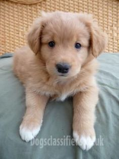 Also want a Nova Scotia Duck Tolling Retriever named Ruffallo