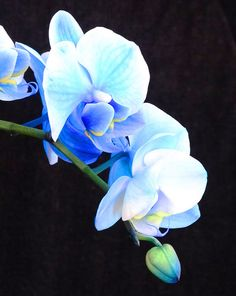 Blue Phalaenopsis Orchid | Blue Orchids!