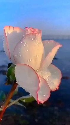 Rose Flower Pictures, Beautiful Flowers Pictures, Beautiful Flowers Wallpapers, Beautiful Rose Flowers, Beautiful Flower Arrangements, Flower Images, Exotic Flowers, Amazing Flowers, Wallpaper Nature Flowers