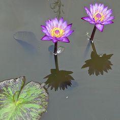 via Instagram skhbg: #ÜberWasser #Seerose violet #Arboretum #Ellerhoop