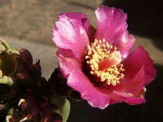 Crasulas y más 17-08-08 - Adriana Celli - Álbumes web de Picasa Natural, Cactus, Rose, Plants, Pest Control, Compost, Picasa, Flowers, Pink