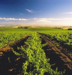 McLaren Vale vineyards South #Australia  http://www.tripadvisor.com.au/ShowForum-g255092-i697-South_Australia.html