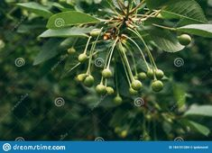 Young, Green Cherries Hanging On Tree Branch Stock Photo - Image of freshness, growth: 184101284 Cherry Fruit, Prunus, Tree Branches, Stock Photos, Nature, Image, Naturaleza, Peach