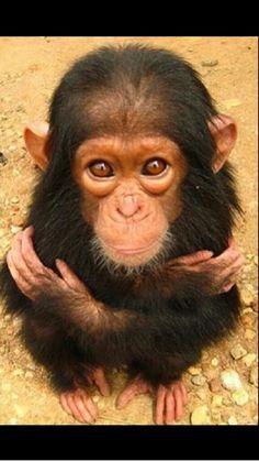 Chimp Love