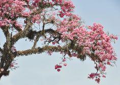 """cloudair: """"Pink lapacho. San Miguel de Tucumán """""""