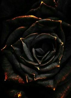 Created by a tainted; this plant is one part Deadly nightshade, one part Rose with a small part of Shadow Blood. Said to turn white in Sunlight, the Nightshade Rose is extremely toxic. Just one prick of it's thorns can cause death. Black Flowers, Pretty Flowers, Red Roses, Rose Flowers, Or Noir, Beautiful Roses, Dark Art, Black Gold, Art Photography