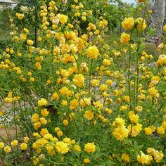 Kerria    Light:Part Sun,ShadeZones:5-9Plant Type:ShrubPlant Height:To 6 feet tallPlant Width:To 8 feet wideFlower Color:YellowLandscape Uses:Beds & BordersSpecial Features:Flowers,Easy to Grow