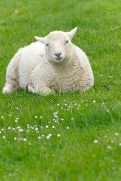 Picture of Irish sheep grazing at rural Ireland stock photo, images and stock photography. Ireland Country, Cruise Offers, Cruise Travel, Albino, Farm Animals, Sheep, Irish, Royalty Free Stock Photos, Tours