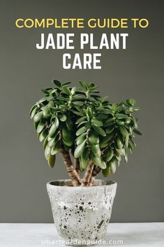 One of my favorite succulents. Jade plants (Crassula ovata) are endlessly versatile and a delight to look after. This jade plant care guide covers all aspects of care, as well as covering all the problems that you might encounter, and how to fix them. Crassula Succulent, Succulent Soil, Crassula Ovata, Cacti And Succulents, Planting Succulents, Kalanchoe Flowers, Jade Succulent, Jade Plant Care, House Plant Care