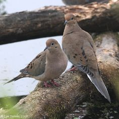 Morning Doves.  Mid-April and they are back.