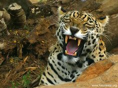 Jaguar Smile www.hayvaniar.org