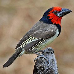 Black-collared Barbet (sub-Saharan Africa)
