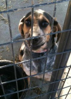 Bluetick Coonhound F 42 lbs. named Lady/Jozey in Harrisville, WV @ Ritchie Co Humane Society Inc. 304-643-4721 rchumane@zoominternet.net