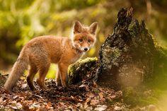 Fox by Robert Adamec on 500px