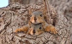 Funny Squirrel Jam Of The Day PetsLady's Pick: Funny Squirrel Jam Of The Day . The FUN site for Animal LoversPetsLady's Pick: Funny Squirrel Jam Of The Day . The FUN site for Animal Lovers Woodland Creatures, Cute Creatures, Beautiful Creatures, Animals Beautiful, Majestic Animals, Cute Squirrel, Baby Squirrel, Squirrels, Nature Animals