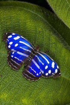 Blue Butterfly - Myscelia cyaniris (Banded Purple Wing or Royal Blue)