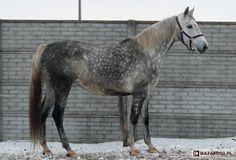 Polish Half-Bred Horse - mare Czuma K