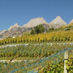 Vineyard, Mountains, Nature, Outdoor, Philosophy, Crying, Red Wine, Switzerland, History