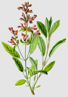 gruitale.com :: Brewing with Sage (Salvia officinalis)