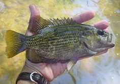 "Rock Bass, we call em ""Red Eyes"" here"