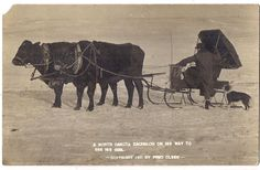 Winter Coat Man On Cattle Cow Drawn Sleigh Border Collie Dog Real Photo Postcard