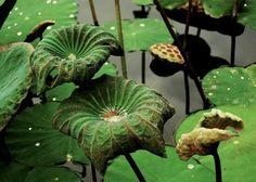 lotus leaf pond