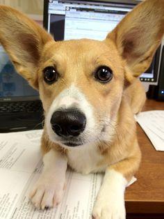 Little known fact: Corgi ears boost wifi reception.