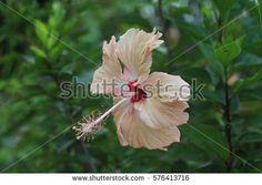 Selective focus, Peace color Hibiscus flower or Bunga Raya