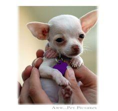 Cute Baby Chihuahua