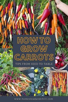 Read along to learn all about growing carrots Well explore our top choice varieties to grow the best time to plant carrots tips for preparing your soil sowing seeds how t. Growing Carrots, Growing Vegetables, Root Vegetables, Growing Plants, Veggies, Garden Soil, Garden Care, Garden Tips, Garden Ideas