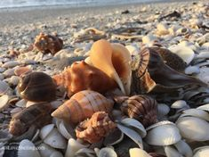 Found seashells treasure hunting on Sanibel