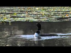 Common Loons and calls.....love the call of the loon.