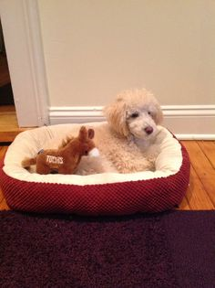 Marty the apricot poodle